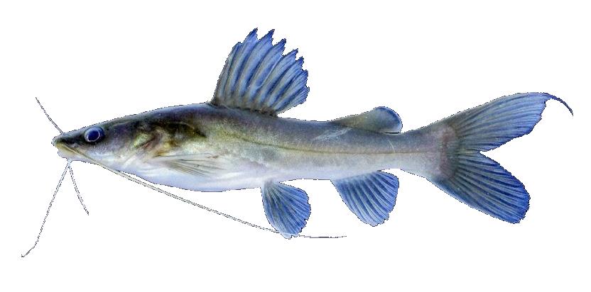 Infomina 7 Jenis Ikan Lokal Yang Berpotensi Untuk Di Budidaya