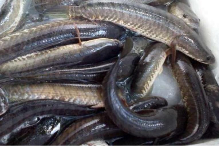 Jenis Ikan Gabus Gambar Ikan Infomina Budidaya Ikan Gabus Tetap Menguntungkan