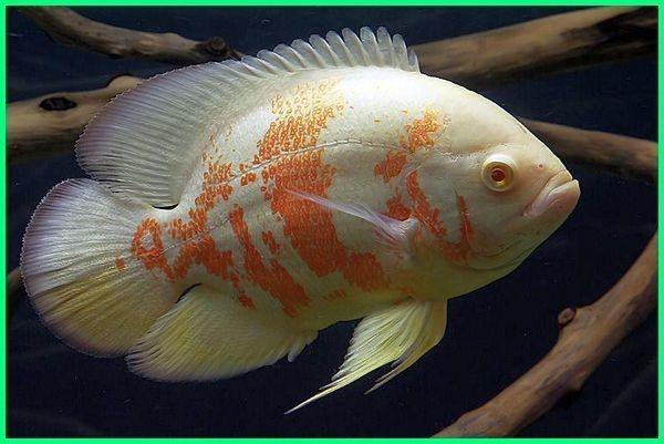 Infomina Mengenal Varian Ikan Oscar Ikan Ganas Yang Cantik Untuk Akuarium Anda
