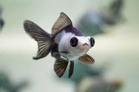 Infomina 6 Jenis Ikan Mas Koki Termahal Dengan Warna Yang Cantik