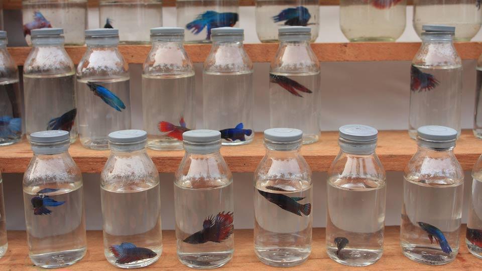 Infomina Cupang Ikan Sawah Yang Naik Panggung Kontes