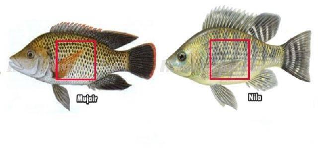Infomina Perbedaan Ikan Nila Dan Mujair Secara Umum